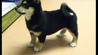 Shiba Inu, Puppies For Sale, In, Hampton, Virginia, West, Va, Norfolk, Chesapeake, 19breeders