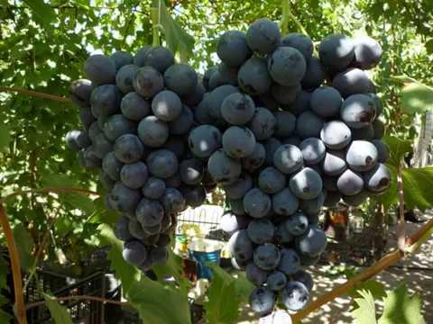 Крупноплодный виноград Страшенский