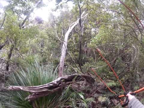 Tracking and catching a kakapo