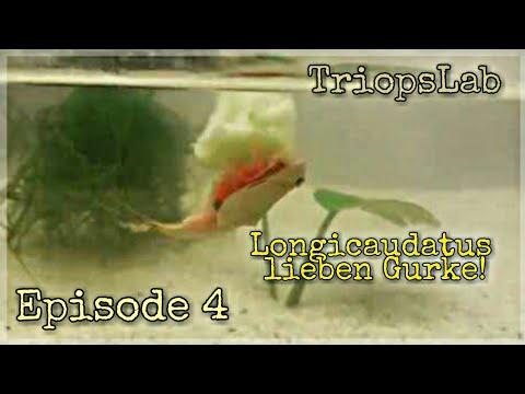 1. Generation Triops Longicaudatus - Frisst Gurke!