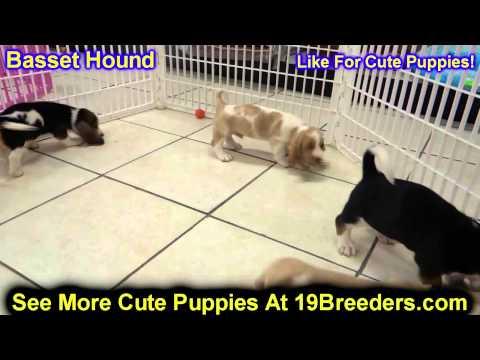 Basset Hound, Puppies, For, Sale, In,Omaha ,Nebraska, NE,Lincoln, Bellevue, Grand Island