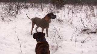 Great Dane Winter Games 2.mov