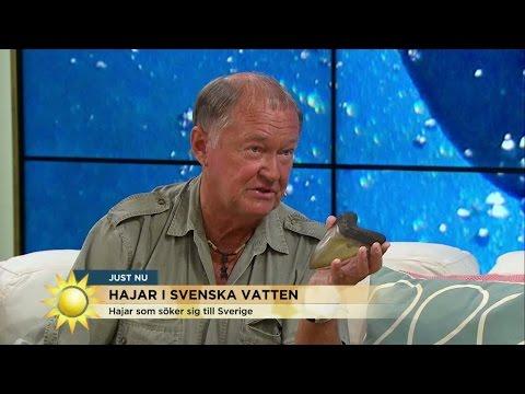 Hajar i svenska vatten - Nyhetsmorgon (TV4)