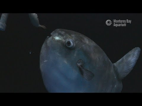 Mola Mola Munch Munch! Feeding Time With Young Ocean Sunfish!