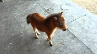 Baby miniature horse chasing me thumbnail