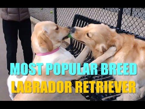 Labrador Retriever Most Popular Breed - Funny Puppy Compilation - The Labrador Ninja