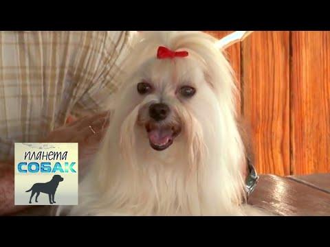 Мальтийская болонка (Мальтезе). Планета собак 🌏 Моя Планета