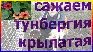видео Тунбергия. Выращивание из семян и уход