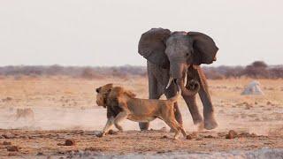 СЛОН В ДЕЛЕ. Версус. Слон против льва, носорога, крокодила, бегемота и буйвола!