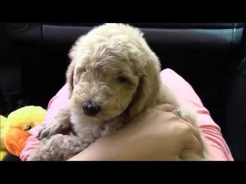 Picking up our Standard Poodle Puppy