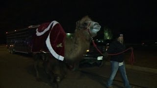 Camel draws crowds at Nativity scene in small US town