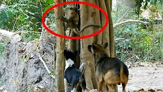 Monkeys Dogs Conflict, MonkeyDog War for Territory