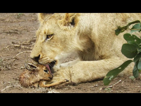 When the Lion Lies Down with the Lamb