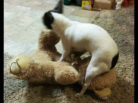 Cute Puppy Humping Teddy Bears Face 12 04 09 Toby Talk Youtube