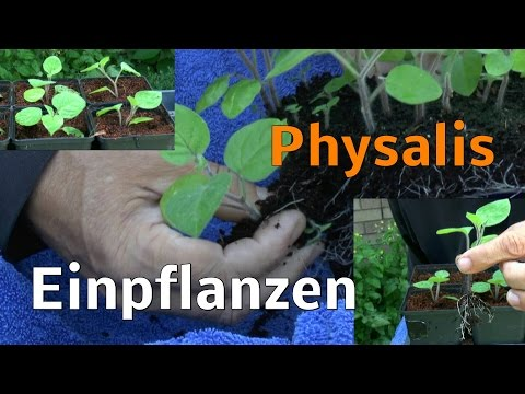 how to grow physalis from seed