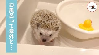 お風呂って意外と気持ちいいかも💕 お風呂の気持ち良さを知ったハリネズミ✨ 【PECO TV】 thumbnail