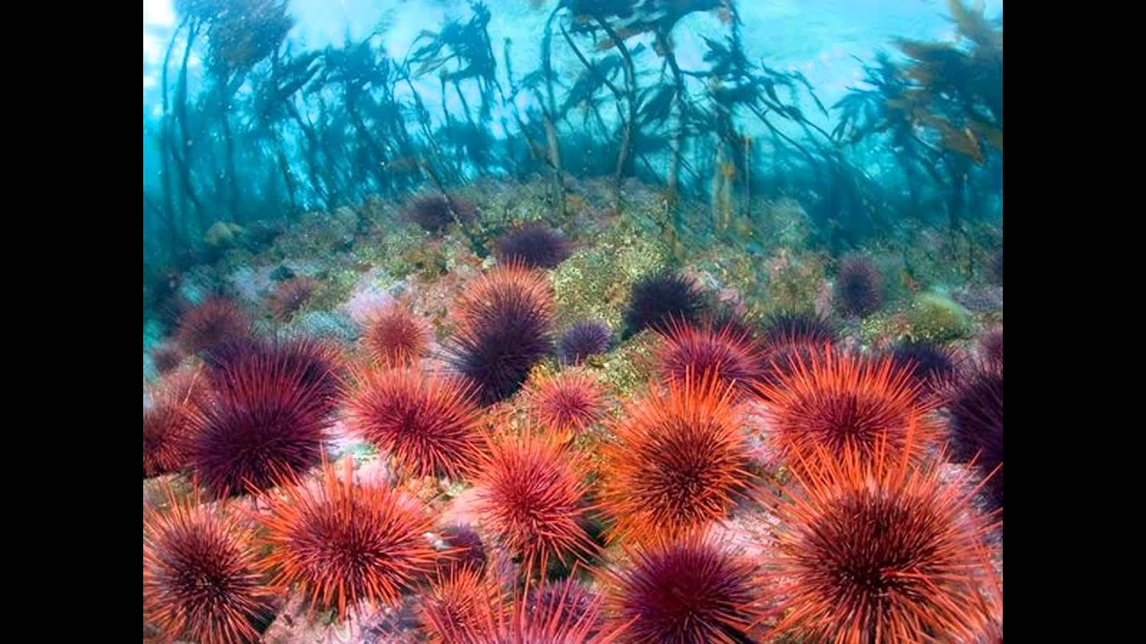 Cute Algae Wallpaper Sea Urchins Sea Otters And Kelp Forests Youtube