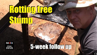 How to: Killing, Removing, rotting out tree Stumps naturally w/ Epsom Salt (5-week follow up!)