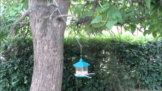 Insufferable Squirrel Attacks Blue Jay Bird Feeder For Peanuts!  Anarchy In The Uk