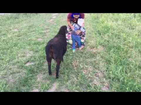 Собачка защищает ребёнка