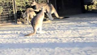 金沢動物園、ヒガシオオカンガルーの交尾。 Eastern Grey Kangaroo's ma...