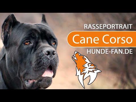Cane Corso [2018] Rasse, Aussehen & Charakter