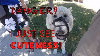 Reactive Labradoodle - Force Free & Fun Dog Training W/ Olaf Pt. 1