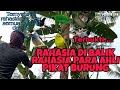 Terbuktiternyata Ini Rahasia Para Ahli Pikat Semua Jenis Burung Agar Nempel Pekicau Liar  Mp3 - Mp4 Download