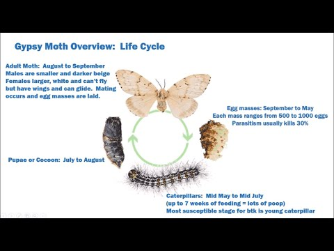 Gypsy Moth Aerial Spray for Toronto in  2019