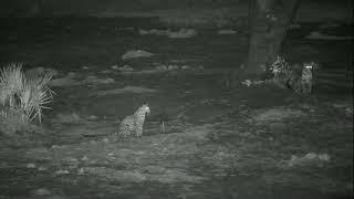 Leopards at Tembe Jun 12 2020