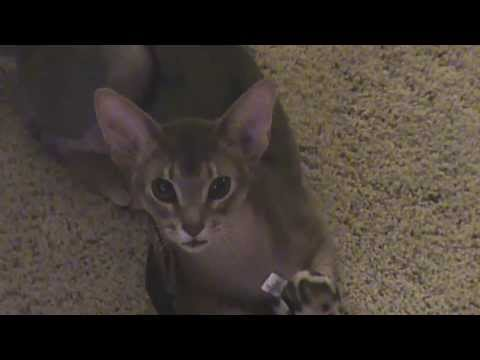 Dexter the Blue Abyssinian goes crazy with his toy