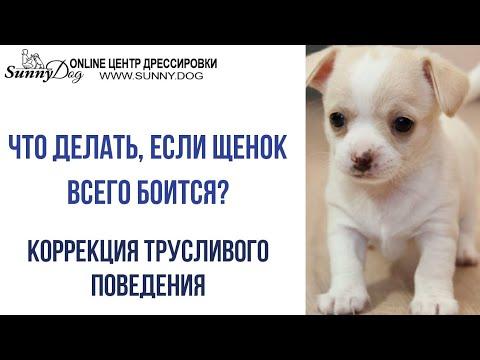 Что делать, если щенок всего боится? Трусливая собака. Коррекция трусливого поведения