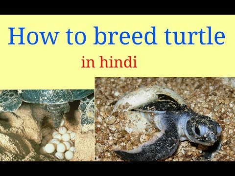 How to breed turtle in Hindi.