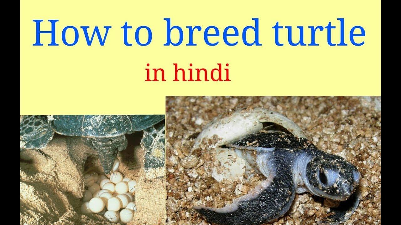 turtle in hindi