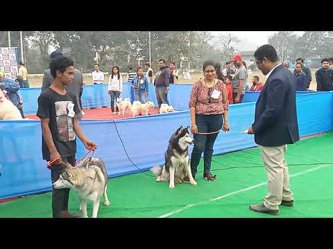 Dog Show In Guwahati Black Wolf Husky Cl 8011775201