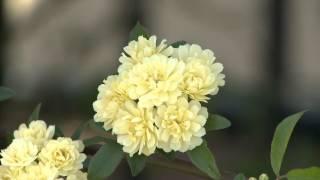 Landscape Roses, Southern Gardening TV, June 16, 2012