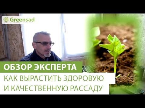 Как вырастить здоровую и качественную рассаду