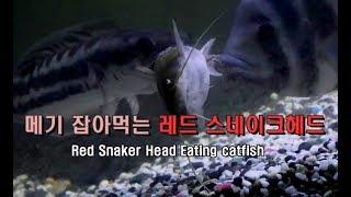 [물생활] 메기 잡아먹는 레드 스네이크헤드(Red Sn…