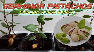 INCREIBLE Como Germinar Semillas de Pistacho  Germinar Pistacho  Sembrar Pistacho  Plantar