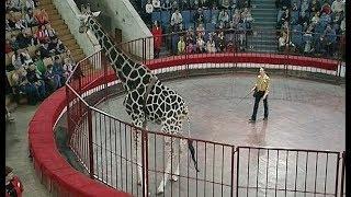 """""""Жираф-шоу"""" в челябинском цирке"""