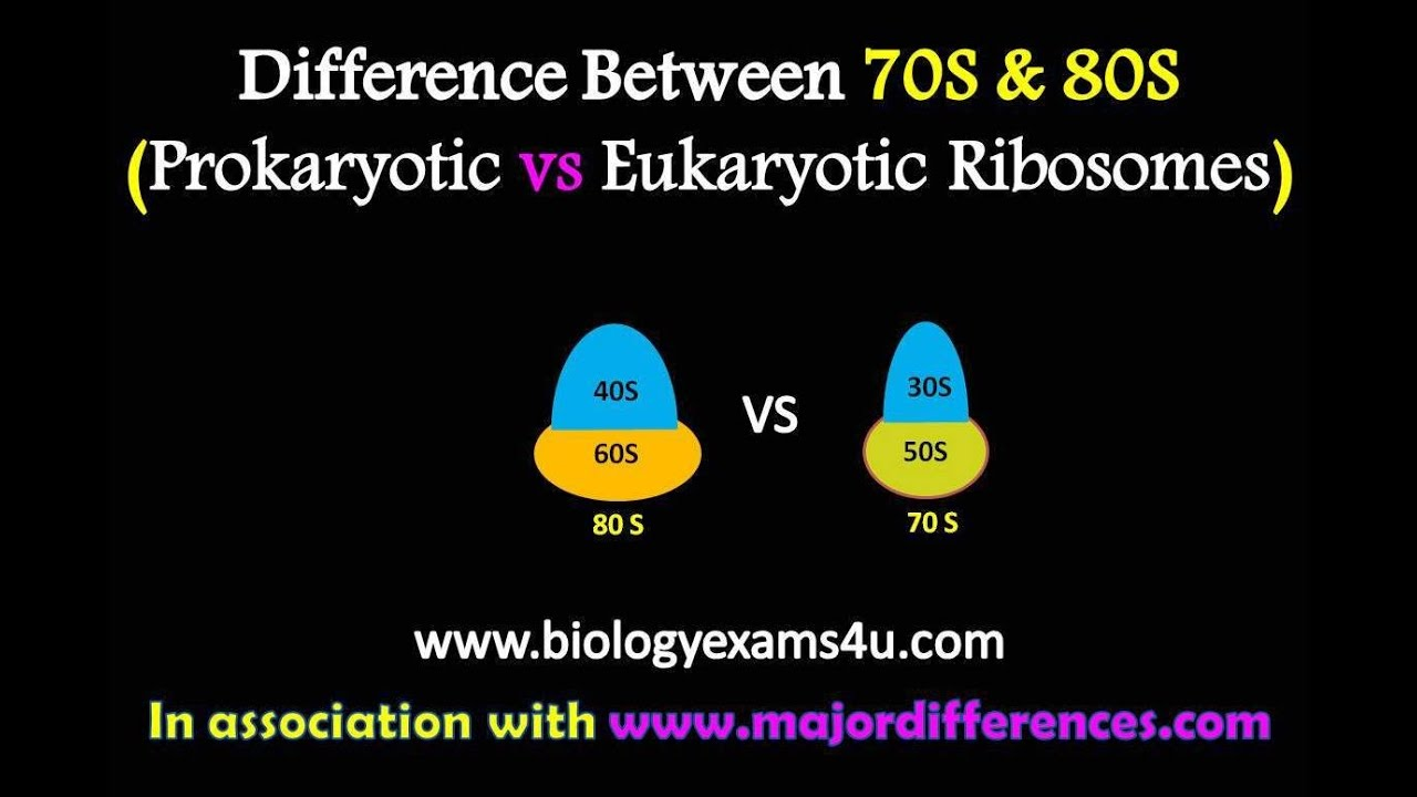 Difference Between 70s And 80s Ribosomes Prokaryotic Vs Eukaryotic Two Basic Types Of Biological Cells