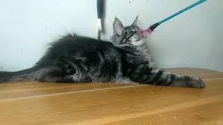 Черный мраморный мальчик котенок Мейн-кун, 3,5 мес,купить на сайте Мейн-куны Москвы