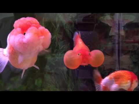 Red Bubble Eye Goldfish