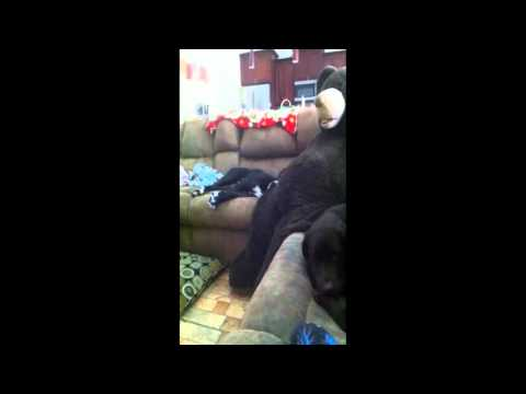 PIT/BOXER DOG SNORES LIKE A GROWN MAN