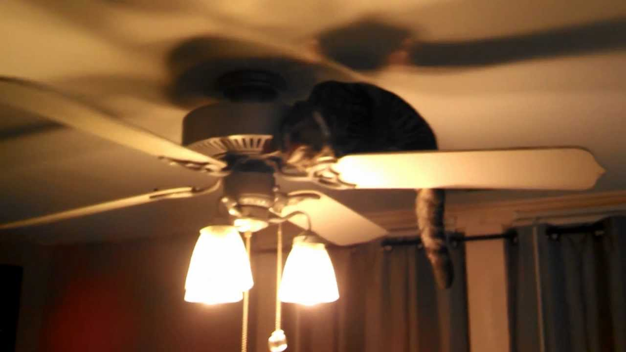 bengal cat taking a ride on ceiling fan - YouTube
