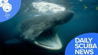 Daily Scuba News - Swarm Of Huge Sharks Discovered