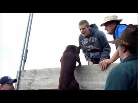 Herding dog high jump contest Apr 2012