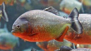 Video Puluhan ikan piranha memangsa seekor belut download MP3, 3GP, MP4, WEBM, AVI, FLV April 2018