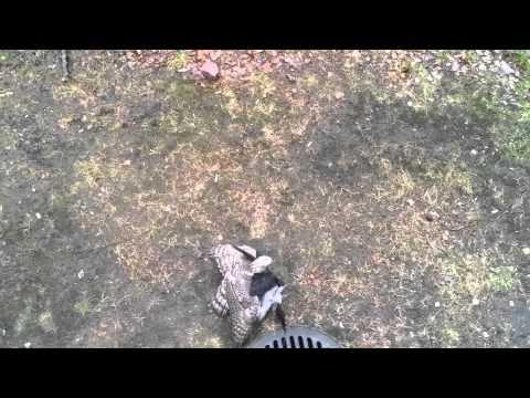Ястреб поймал ворону.
