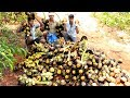 TENDER PALMYRA FRUITS Cutting and Eating in my Village | village food taste